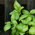 What Is Eating the Leaves of My Basil Plants?