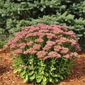 How to Care for Autumn Joy Sedum