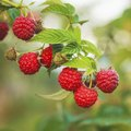 Thornless Varieties of Raspberries