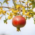 How to Prune Pomegranate Trees