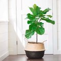 A Definitive Guide to Caring for Your Fiddle-Leaf Fig Tree