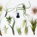 Everything You Need to Know About Air Plants