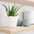 How to Plant and Maintain an Aloe Plant