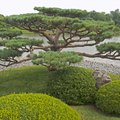 How to Plant & Care for Japanese Boxwoods