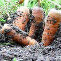 How Long Does it Take to Grow a Carrot?