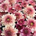 How to Care for Water Mums