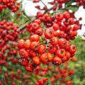 How to Identify a Tree with Red Berries
