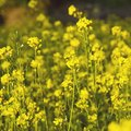 What Does a Mustard Plant Look Like?