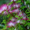 How to Grow a Mimosa Tree