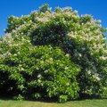 How to Grow Catalpa Trees from Seed
