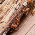 How to Kill Termites With Boric Acid