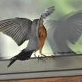 How to Stop Birds from Attacking Windows