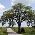 How Fast Do Elm Trees Grow?