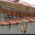 How to Attach a Plastic Owl to the Roof