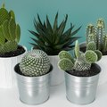 How to Repot Cactus and Succulents