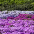How to Grow Creeping Phlox Groundcover