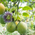 How to Eat a Maypop When Ripe