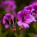 About Geranium Flowers