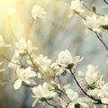How Long Do Magnolias Bloom?