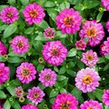 How to Care For Zinnias