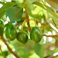 How to Graft an Avocado Tree to Produce Avocado Fruit