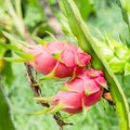 How to Water a Dragon Fruit Plant