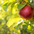 How to Care for Apple Trees