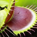 How to Open a Venus Flytrap