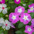 How To Plant And Grow Vinca