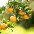 How to Grow Orange Trees