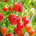 How to Plant Strawberries in Arizona