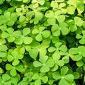 How to Kill Clovers Without Killing the Grass