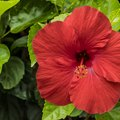How to Make Fertilizer for Hibiscus
