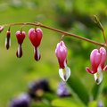How to Transplant a Bleeding Heart Plant