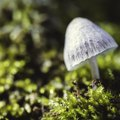 How to Identify Liberty Cap Mushrooms