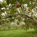 About Fruit Trees