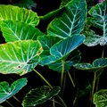 How to Cut Back an Elephant Ear Plant