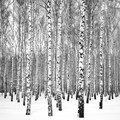 About Birch Trees