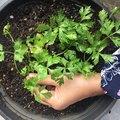 Create a Container Vegetable Garden