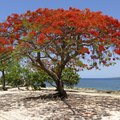 Flame Tree Seeds
