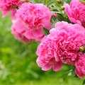 How to Care for a Peony Bush in the Fall