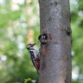 What Kinds of Trees Will Woodpeckers Peck?
