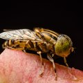 Yellow Fly Repellent