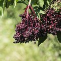 What Is an Elderberry Bush?