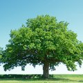 How to Identify Oak Trees