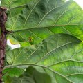How to Propagate a Fiddle Leaf Fig