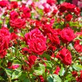 How To Grow And Care For Roses