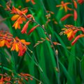 How to Care for Crocosmia
