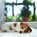 How to Get Pet Urine & Smells Out of a Carpet (With a Steam Cleaner)