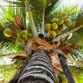 Growing Coconut Trees
